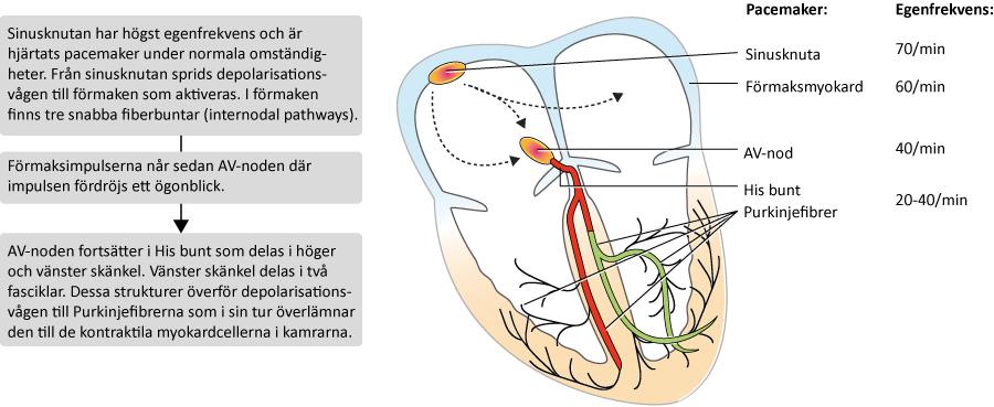 Figur 4. Översikt av retledningssystemet och impulsens väg genom hjärtat. Till höger i bild syns pacemaker-hierarkin i hjärtat. Samtliga dessa strukturer har alltså automaticitet och kan därför etablera en rytm. Sinusknutan har högst egenfrekvens, vilket förklarar varför den sätter hjärtrytmen under normala omständigheter.