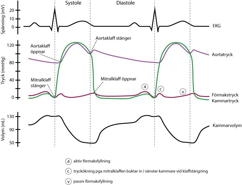 Figur 6. För särskilt intresserade läsare visas här relationen mellan EKG-kurvans komponenter och tryckförhållandena i förmak, kammare och aorta.