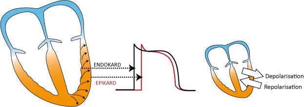 Figur 11. Vektorförhållanden under de- och repolarisation.