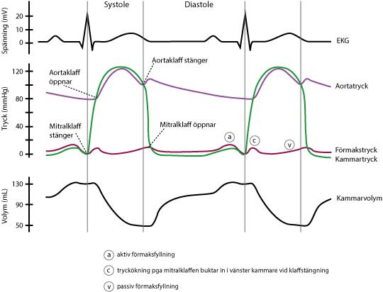 Figur 4. För den särskilt intresserade illustreras här relationerna mellan EKG-kurvans komponenter och förhållandena i förmak, kammare och aorta. Om hjärtfrekvensen ökar kommer framförallt diastoles duration minska, medan systoles duration är relativt oförändrad.